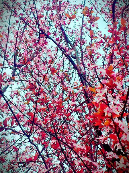Springiscoming Spring Flowers Spring Has Arrived Enjoying Life Hello World Springtime Taking Photos Walking Around Spring Explosion Pink!