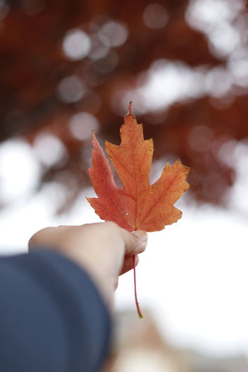 Close-up of hand holding maple leaves during autumn