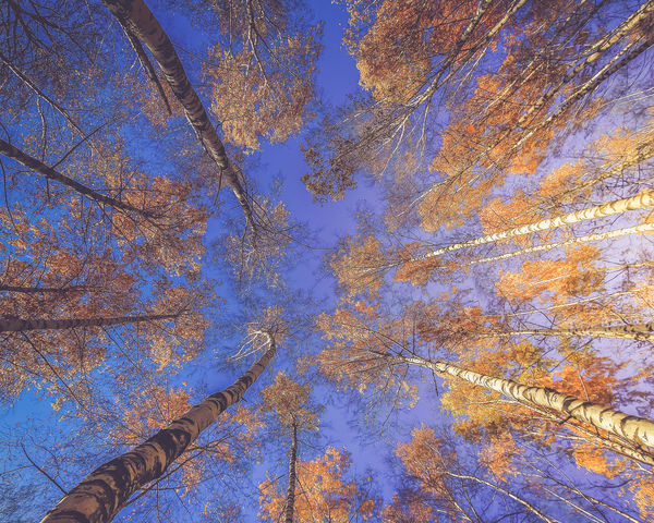 Tree bottom view. Аutumn Season. Golden foliage. Sunlight Golden Sunlight Autumn Season Autumn🍁🍁🍁 Backgrounds Beauty In Nature Blue Day Nature No People Outdoors Plant Plant Part Sky Tree Tree Canopy