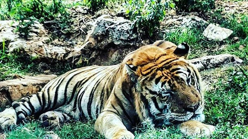 Tiger Animals Biganimals AnimalsDay Beautifulanimals Beautifulcolors Verynicepicture Contrast Green Plant Plants Rocks Eyrofthetiger White Orange Black Nicecolors Country Zoo Zoosafari Zoosafaripark Magnificent Love Family Familyday TagsForLikes