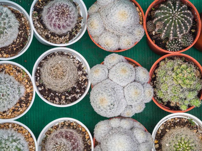 Full frame shot of cactus in market