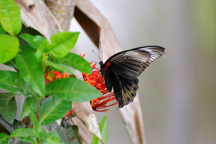 butterfly in flower Leaf Flower Red Red Flower Green Color Nature Nature Photography EyeEm Nature Lover Butterfly - Insect Butterfly Animal Insect Perching Full Length Butterfly - Insect Red Leaf Spread Wings Insect Animal Themes Close-up