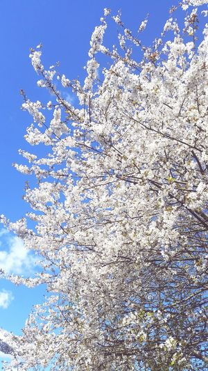 White Flower Flower Germany Flowers Spring Nature On Your Doorstep Nature Daylight Sunshine Sky Tree Tree Branches Tree With White Flowers Cherry Blossoms White Cherry Blossom White Cherry Blossoms