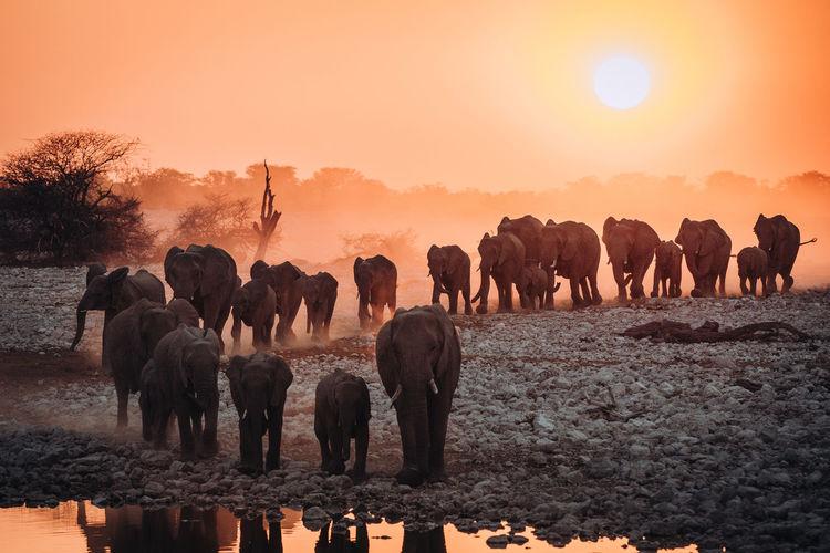 Elephants walking on land during sunrise