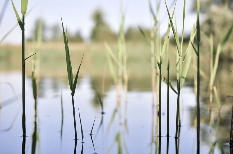 Close-up of grass on field by lake