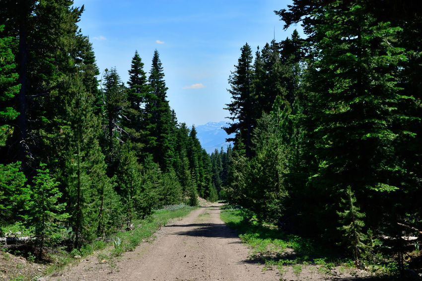 View in the Warner Mountains in Modoc County, California. Blue Sky Brown Dirt Road Forest Green Color Growth Pine Trees Road The Way Forward Tranquil Scene