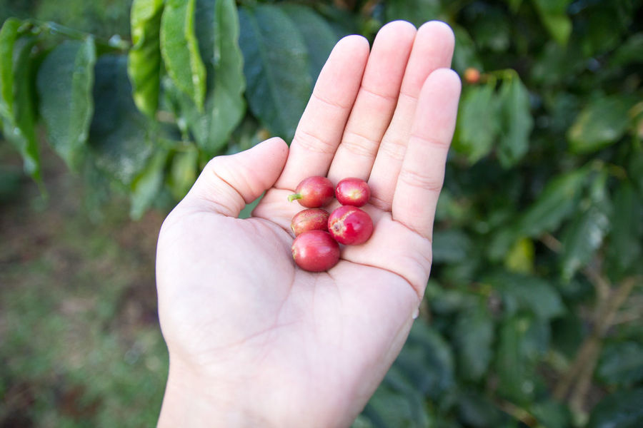 Coffee Coffee Bean Coffee Tree Coffee Plantation Coffee Leaves Raw Coffee Bean Raw Coffee Human Hand Hand Food And Drink Human Body Part Food Holding Wellbeing Healthy Eating One Person Fruit Freshness Unrecognizable Person Focus On Foreground Close-up Real People Day Red Body Part Green Color Outdoors Finger Ripe Human Limb EyeEmNewHere EyeEm Best Shots EyeEm Nature Lover EyeEm Selects EyeEm Gallery Eyeem Coffee Lover ForTheLoveOfPhotography Lao Coffee Lao Trip Paksong Laos