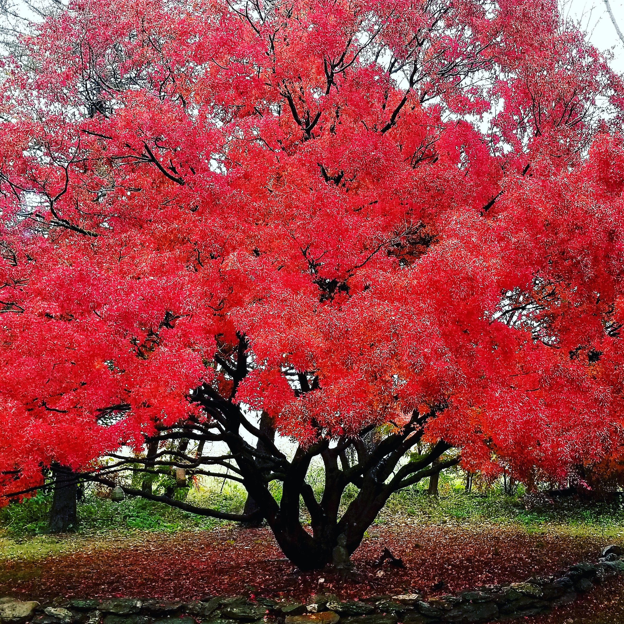 plant, tree, growth, red, autumn, beauty in nature, nature, no people, day, branch, change, park, outdoors, land, tranquility, pink color, park - man made space, field, scenics - nature, tranquil scene