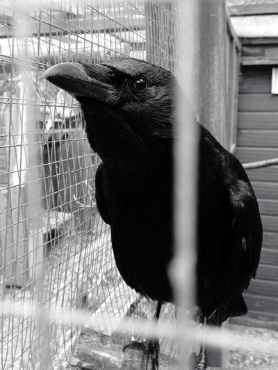 Crow Bird Animal Animal Photography