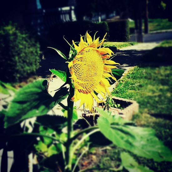 Sunflowers🌻 City Gardens Urban Landscape Flowers,Plants & Garden Sunflowerlovers