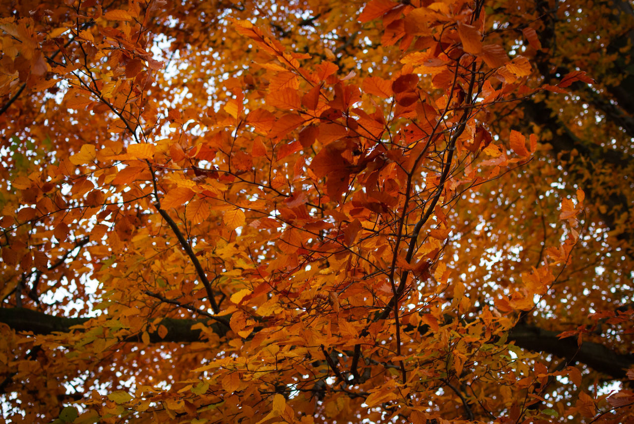 autumn, change, tree, plant part, leaf, plant, orange color, branch, no people, nature, leaves, beauty in nature, growth, day, outdoors, low angle view, maple tree, tranquility, maple leaf, close-up, fall, natural condition, autumn collection