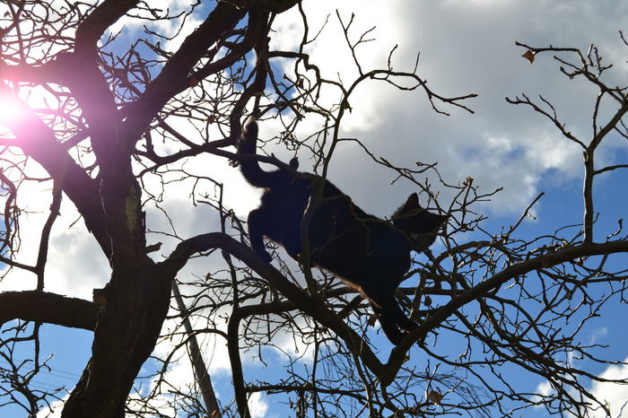 Animal Themes Animal Wildlife Animals In The Wild Bare Tree Beauty In Nature Black Cat Black Cats Are Beautiful Black Color Blue Sky Branch Cat Cat Climbing A Tree Day Low Angle View Mammal Nature No People Outdoors Silhouette Sky Sky And Cloud Collection Tree
