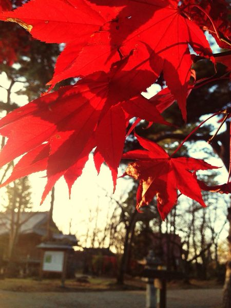 IPhone IPhoneography Mobilephotography Red Autumn Tree Beauty In Nature Nature EyeEm Nature Lover Nature Red Colors Of Nature Tree Sunlight And Shadow Light And Shadow Colors