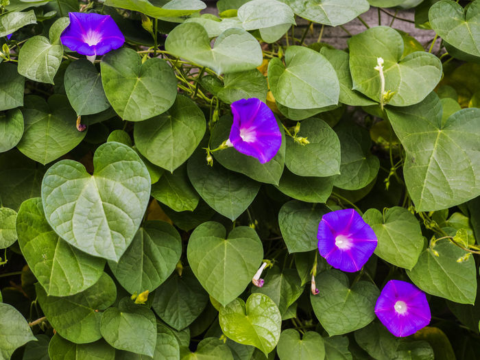 """Blue flowers - Convolvulus mauritanicus or """"Ground Morning Glory"""" Ground Morning Glory Beauty In Nature Blooming Close-up Convolvulus Day Flower Flower Head Fragility Freshness Green Color Growth Leaf Mauritanicus Nature No People Outdoors Periwinkle Petal Plant Purple"""