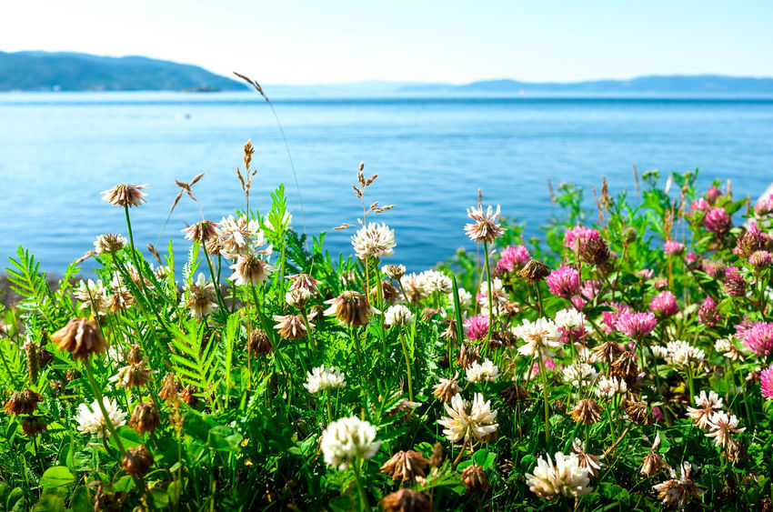 Beauty In Nature Blooming Close-up Day Flower Flower Head Fragility Freshness Grass Growth Horizon Over Water Mountain Nature No People Outdoors Plant Scenics Sea Sky Tranquil Scene Tranquility Water EyeEmNewHere