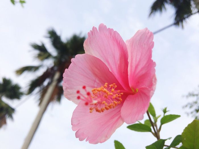 EyeEm Selects Flower Pink Color Nature Blossom Flower Head Plant Sky Petal Tree Tropical Climate Leaf Beauty In Nature Cloud - Sky No People Low Angle View Close-up Growth Day Freshness Outdoors Beauty In Nature Nature Eye4photography  Flowers_collection