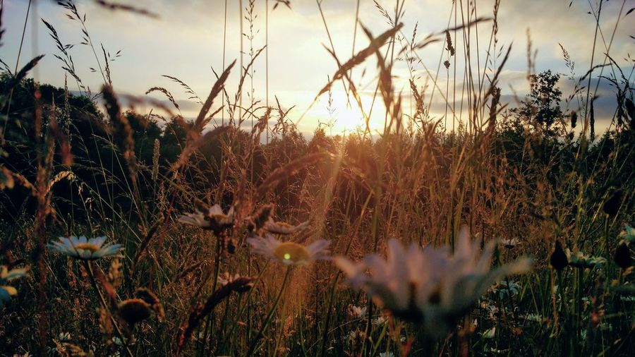 Wild flowers in the golden hour Weeds Are Beautiful Too Flowers Petal Nature Photography Grass Landscape Tree Golden Hour Flower Petals Colorful Sunlight Sunset Lens Flare Framed By Nature Flower Sunset Rural Scene Sky Close-up Plant Wildflower Reed - Grass Family Blossom Plant Life