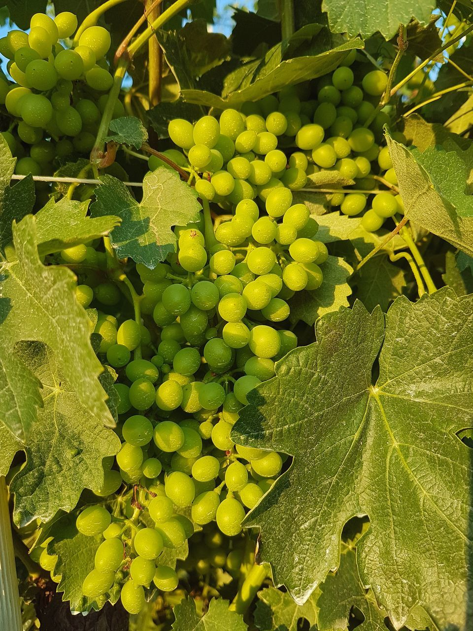 green color, leaf, fruit, growth, food and drink, grape, agriculture, bunch, day, healthy eating, freshness, vineyard, outdoors, abundance, food, no people, nature, close-up, vine - plant