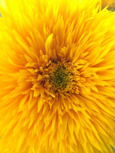 Sunflower Axis Monochrome Plants Flowers First Eyeem Photo