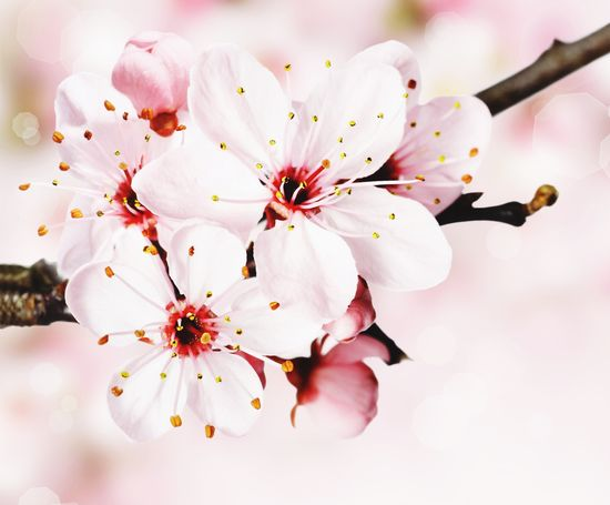 Springtime Nature Blossom Stamen Flower Growth Petal Tree Twig Beauty In Nature Close-up Branch Almond Tree Apple Tree No People Fruit Tree Flower Head Fragility Pistil Freshness