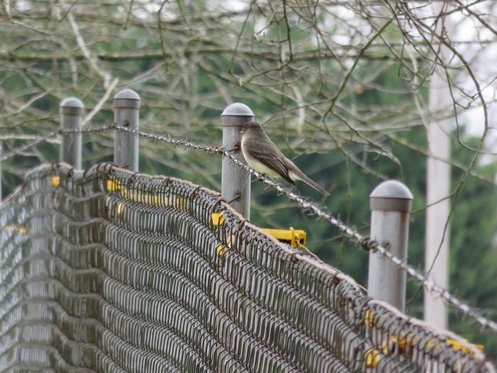 Bird On A Barbed Wire Strand Animal Wildlife Bird Bird Tree Chainlink Fence Metal Close-up Barbed Wire Chainlink Wire Fence
