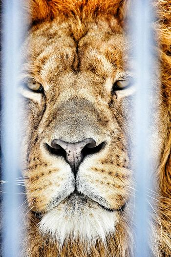 Lion Caged Freedom Caged :( Heavilycaged Animal To Be Uncaged Lions Fine Art Photography