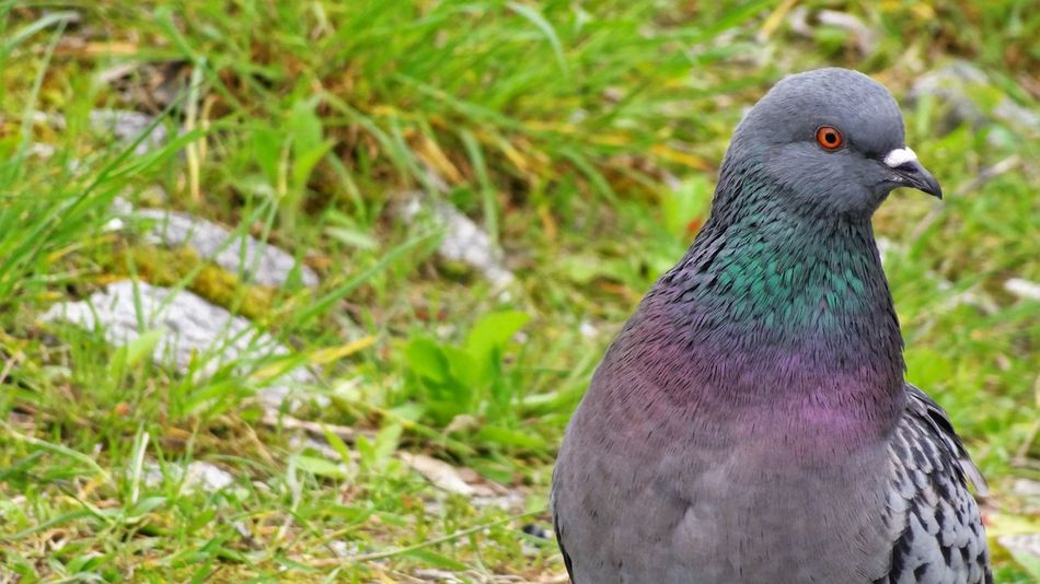 Animal Themes Animal Wildlife Animals In The Wild Beak Beauty In Nature Bird Close-up Day Focus On Foreground Grass Green Color Nature No People One Animal Outdoors Pigeon