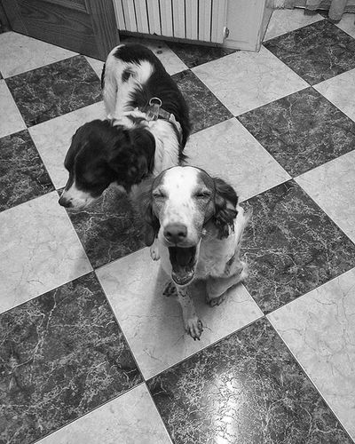 Oh Shut up and give me food ! Just now.....Aw...truthfully, she's yawning. Brittanyspaniels Rescuedogs Americanbrittany Blackandwhitephotography Dogsofinstagram Dogstsagram Dogs Monochrome Petsagram Pets