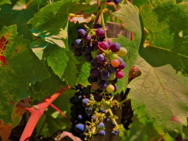Agriculture Beauty In Nature Bunch Close-up Day Food Food And Drink Food Stories Freshness Fruit Grape Green Color Growth Healthy Eating Leaf Nature No People Outdoors Plant Tree Vine - Plant Vineyard Winemaking