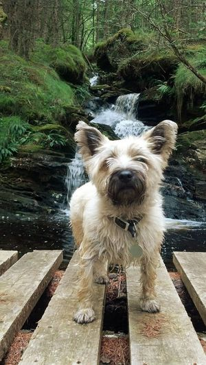 Attitude Water_collection Waterfall Scottish Highlands WoodLand Dog Wet Feet Taking This Photo ;) Bridge Lush Forest Animal_collection