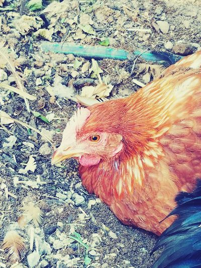 Chicken - Bird Livestock Domestic Animals Animal Themes Bird One Animal High Angle View Outdoors No People Day Agriculture Rooster Nature Close-up Mammal Chickens Are Pets Backyard Pet Portraits