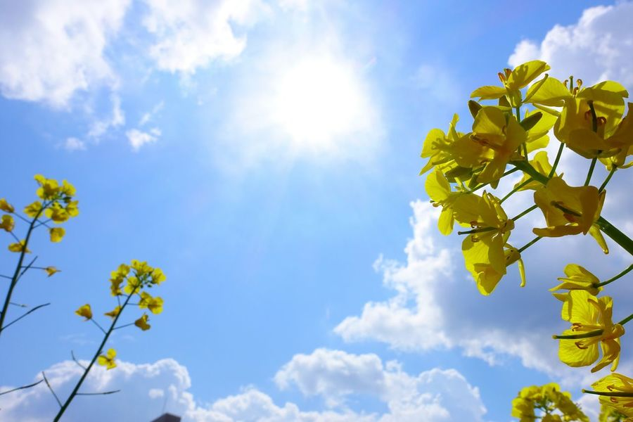 Sky Blue Cloud - Sky Nature Low Angle View Sun No People Beauty In Nature Outdoors Day Skyporn Sky And Clouds 菜の花 植物 EyeEm Best Shots - Nature Yellow Taking Photos Plant Sunlight Blue Sky RapeFlowers Rapeseed Blossom Flowers Freshness Yellow Flower