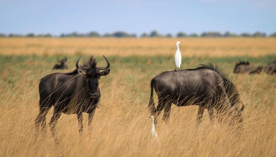 Wildebeests on grass