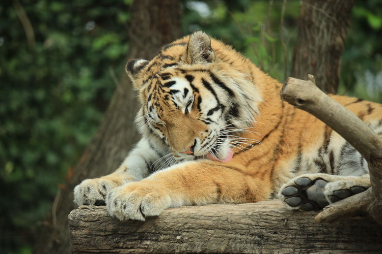 Cat relaxing on wood in zoo