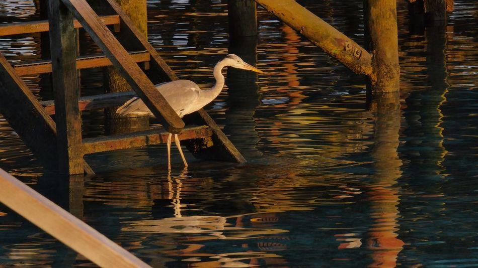 Animal Photography Animal Bird Maldives Malediven  Fishing Watching Catch? Heron Grey Heron  Common Heron Fischreiher Evening Sun