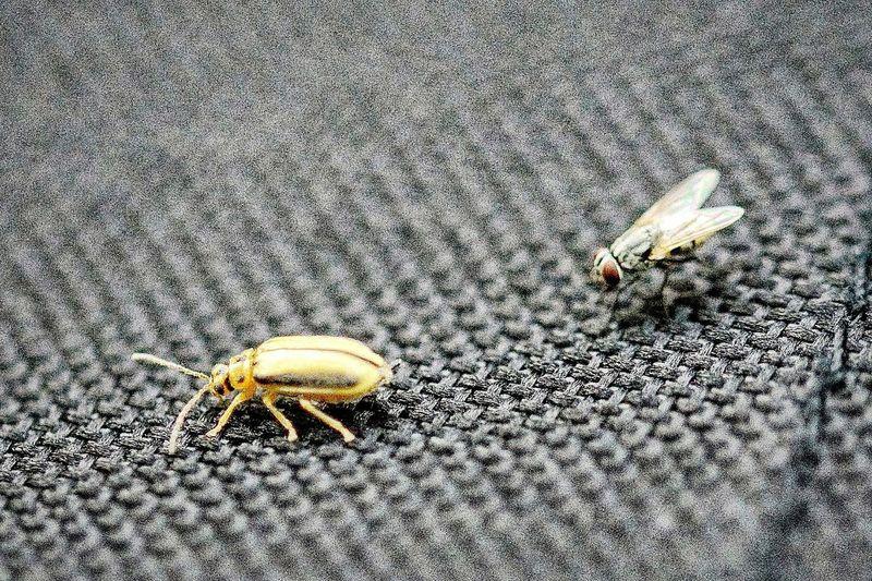 Fly Beatle