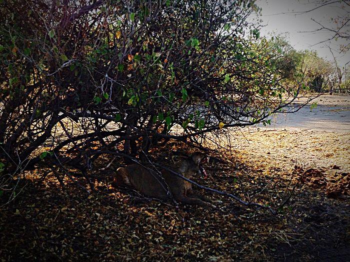En plein chœur de Namibie,une lionne...