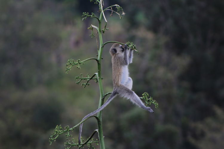Monkey hanging from plant in forest