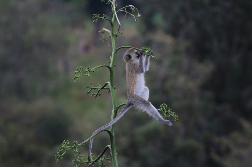Africa Animal Themes Animals In The Wild Avian Baby Monkey Beauty In Nature Day Flower Focus On Foreground Fragility Green Color Growth In Bloom Monkey Nature No People One Animal Perching Springtime Tanzania Velvet Monkey Vervet Monkey Wildlife Zoology