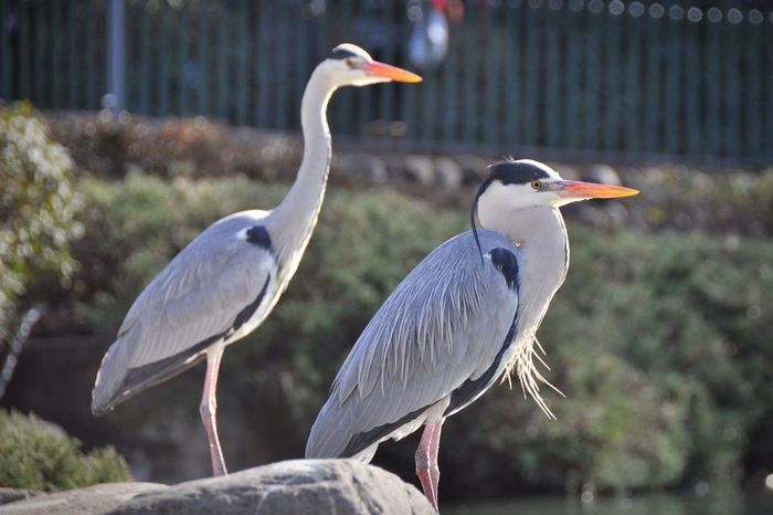 Bird Animals In The Wild Animal Themes Animal Wildlife Heron Focus On Foreground Gray Heron Day Nature No People Outdoors Beauty In Nature Perching Crane - Bird Close-up Tree