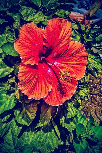 Its the season for them. Flower Beauty In Nature EyeEm Gallery Tadaa Community For My Friends That Connect CreativePhotographer Hdr_gallery Hdr_Collection Looking At Camera From Where I Stand Eye4photography  Flowers, Nature And Beauty Art Inspired By Life Malephotographerofthemonth Streamzoofamily Hdr Edit Popular Photos Flower Porn