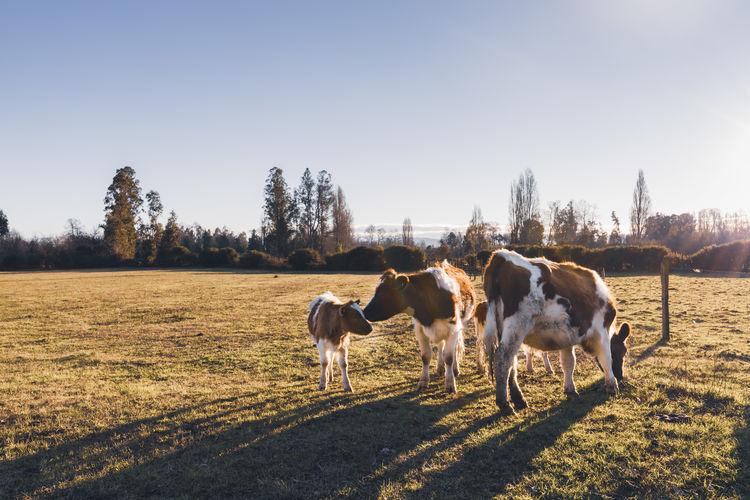 A cow herd standing and eating on a grass field during a sunset