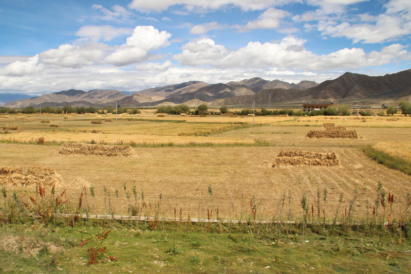 Tibetan village and highland barley field in sunny day, Tibet, China Barley Field Beauty In Nature Cloud - Sky Day Fields Highland Barley Field Landscape Mountain Nature Outdoors Scenics Sky Sky And Clouds Sunny Day Tibet Tibetan  Village