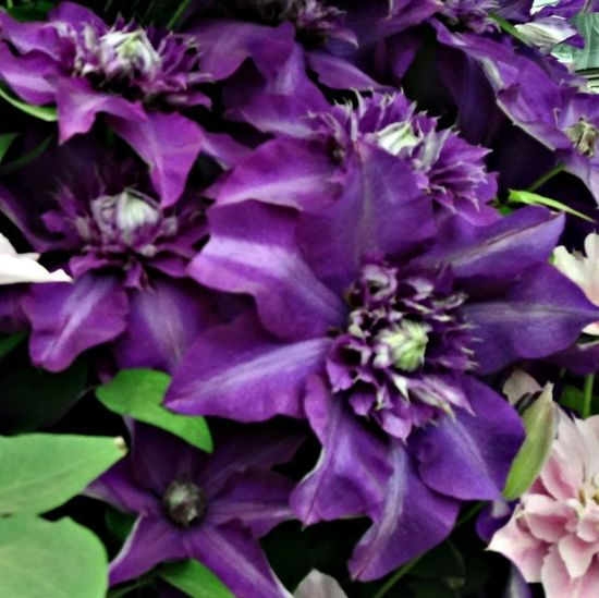 Clematis 'Shikoo' Flowers Flowerporn Eye4photography  EyeEm Nature Lover
