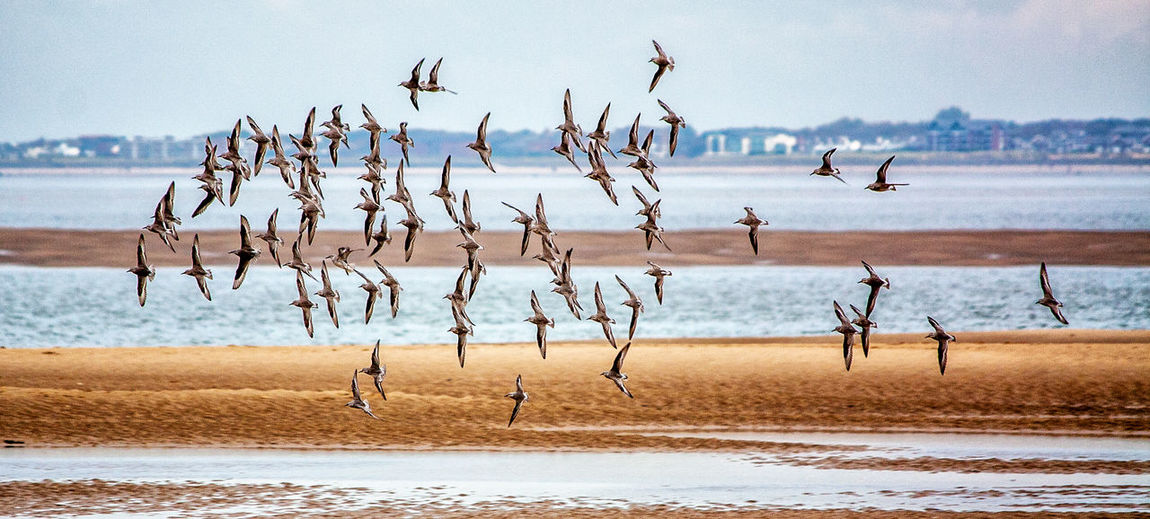Dunlin in Flight Beach Beauty In Nature Bird Day Dunlin Flock Horizon Over Water Nature No People Outdoors Sand Scenics Sea Sky Water Let's Go. Together.