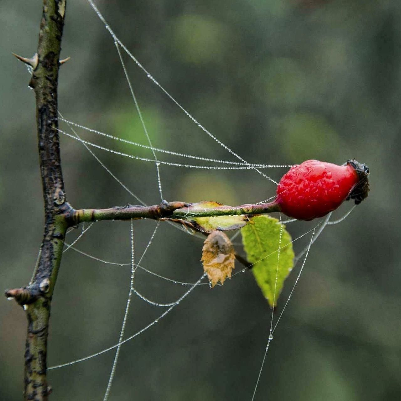 focus on foreground, spider web, close-up, no people, nature, day, fruit, outdoors, growth, beauty in nature, freshness, animal themes