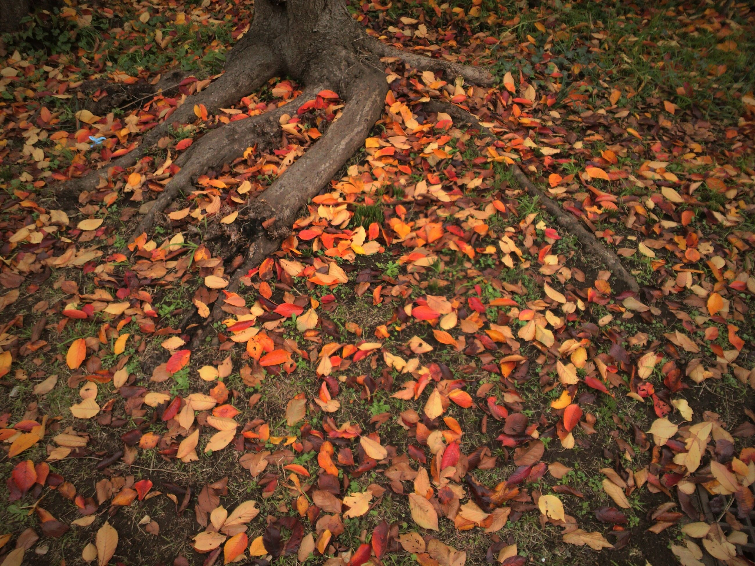 autumn, leaf, change, high angle view, fallen, leaves, dry, season, nature, field, orange color, ground, grass, outdoors, day, falling, maple leaf, tranquility, growth, no people
