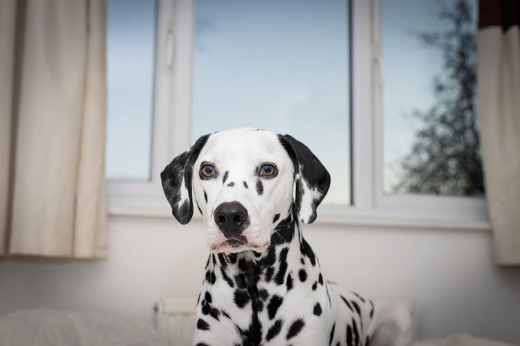 Portrait Of Dalmatian Dog At Home