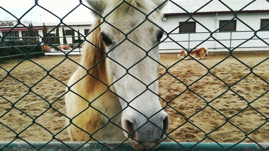Horse EyeEm Best Shots Yellow Nature Day Bird Metal Chainlink Fence Sky Building Exterior Architecture Captivity Animal Pen Livestock Domestic Cattle Animals In Captivity Cage Zoo Domesticated Animal Tag Highland Cattle Cattle