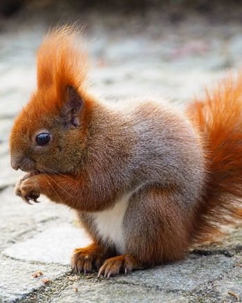 Red Squirrel Squirrel Cute Natgeo Travel Photography Photooftheday Animals Squirrels Cuteanimals Wild City Czech Republic Warszawa  Warsaw Lazienkipark Park Woods Poland Tourism EyeEm Selects One Animal Animals In The Wild Mammal No People Animal Wildlife Animal Themes Day Outdoors Nature
